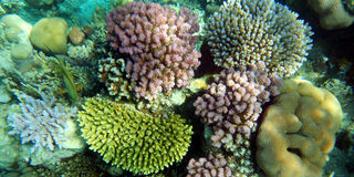 Corals. Several tipe of corals in Red Sea Stock Images