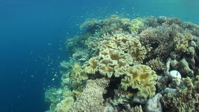 Corals and Small Fish in Indonesia stock video footage
