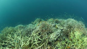 Corals and Small Fish in Raja Ampat, Indonesia. Corals and fish thrive on the edge of a shallow reef in Raja Ampat, Indonesia. This remote region harbors stock video footage
