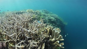 Corals and Small Fish in Raja Ampat. Corals and fish thrive on the edge of a shallow reef in Raja Ampat, Indonesia. This remote region harbors extraordinary stock video