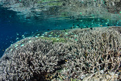Corals and Small Fish in Tropical Pacific Stock Photography