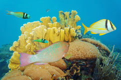 Corals under the sea with colorful tropical fish. Caribbean, Mexico Stock Photos