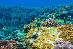 Corals underwater and beautiful tropical fish in the Indian Ocean. Corals under water and tropical fish in the Indian Ocean, Bali, Indonesia Royalty Free Stock Photo