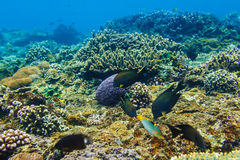 Corals underwater and beautiful tropical fishs in the Indian Ocean Royalty Free Stock Photography