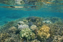 Corals underwater on a shallow reef New Caledonia Royalty Free Stock Images