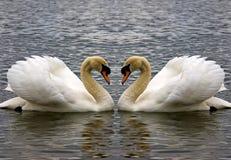 Coração da cisne Foto de Stock