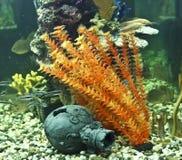 Coraux, algues et cruche, aquarium photo libre de droits