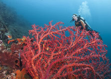 Coraux chez Bali Photo libre de droits