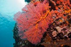 Coraux chez Bali Images libres de droits