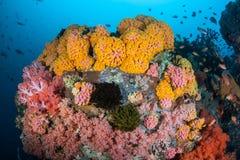 Coraux colorés en Indonésie Image libre de droits