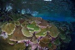 Coraux colorés en Solomon Islands Image libre de droits