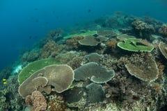 Coraux colorés s'élevant sur le récif Photographie stock libre de droits