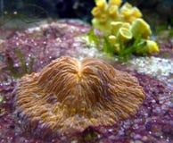 Coraux dans l'aquarium de mer Photographie stock libre de droits