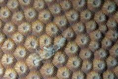 Coraux dans la reproduction image stock