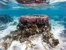 Coraux de Polynésie sous-marins Images libres de droits
