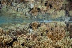 Coraux en cuir en eau peu profonde Photographie stock