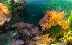 Coraux et algues de mer dans l'aquarium lumineux illustration stock
