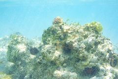 Coraux et oursins sur la roche sous-marine des Caraïbe image stock