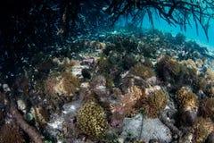 Coraux et palétuvier de l'eau bleue en Raja Ampat image libre de droits