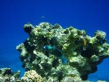 Coraux et poissons Photos libres de droits