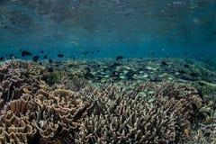 Coraux et poissons dans le bas-fond Photographie stock