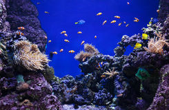 Coraux et poissons de clown Images libres de droits