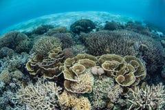Coraux fragiles sur le récif Pacifique peu profond Photos libres de droits