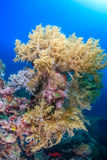 Coraux mous, île de Pescador, Moalboal Photos libres de droits