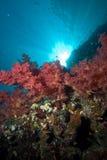Coraux mous colorés avec des rayons de soleil Images stock