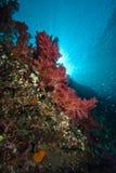 Coraux mous colorés avec des rayons de soleil Images libres de droits