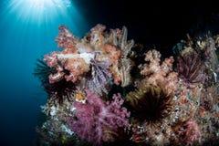 Coraux mous colorés sur le récif Photo libre de droits