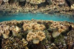 Coraux mous dans le bas-fond de Raja Ampat Images stock