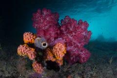 Coraux mous sur le récif Pacifique peu profond Images libres de droits