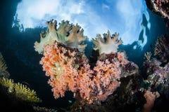Coraux mous sur Raja Ampat Reef peu profond Images stock