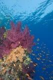 Coraux mous vibrants Photographie stock libre de droits