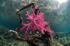 Coraux mous vibrants sur la branche submergée en Raja Ampat Photographie stock