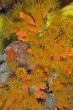 Coraux oranges de cuvette Photos libres de droits