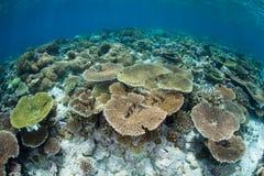 Coraux renforcement de récif peu profonds en Indonésie Images libres de droits