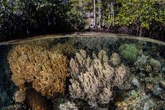Coraux sur le bord de la forêt de palétuvier Photos libres de droits