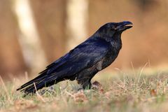 corax κοράκι corvus Στοκ Εικόνα