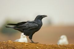 Corax común de Raven Corvus Fotos de archivo