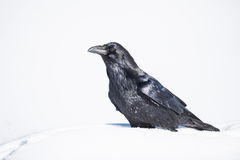 Corax común de Raven Corvus fotos de archivo libres de regalías