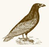 Corax común del corvus del cuervo en la opinión del perfil stock de ilustración