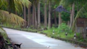 Corax común del corvus del pájaro del cuervo que saca el camino concreto y la mosca a la palmera metrajes