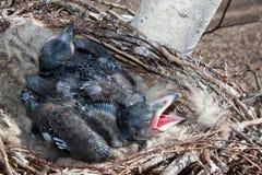 Corax commun de Raven Corvus - nid images libres de droits