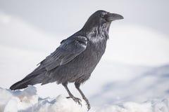 Corax comum de Raven Corvus fotos de stock royalty free