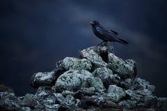 Corax comum do Corvus do corvo que senta-se em rochas em um blizzard da neve imagens de stock