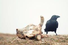 Corax Corvus ворона сидя около черепа в тумане стоковое изображение