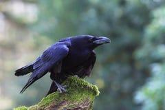 corax corvus kruk Zdjęcia Royalty Free