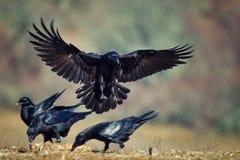 Corax de Raven Corvus em voo fotografia de stock